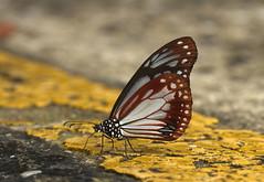 The Chestnut Tiger - หนอนใบรักตาลแดงธรรมดา