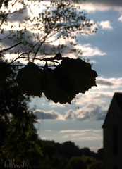 avellano (El Saskuas) Tags: espaa lumix official spain flickr camino perfil otoo silueta autmn avellano caceres corylus hervs avellana parh flickraward chorrerilla