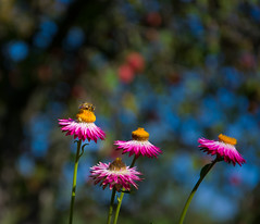 A Bee in Wonderland (DomiKetu) Tags: flower color colour tree nature nikon dof bokeh bee apples shallow vr 18105 d5100