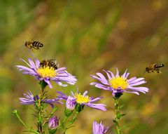 Aster Attack (*Gitpix*) Tags: flowers autumn oktober flower color macro nature closeup germany deutschland petals inflight nikon october blossom bokeh bees herbst natur blumen bee autumncolors coolpix blume makro dsseldorf blte bltenbltter asters nahaufnahme aster farben biene blten astern herbstfarben imflug neinen