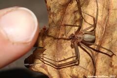 Loxosceles reclusa (Brown Recluse) (Andrew Hoffman) Tags: brown animal photography spider wildlife arachnid indiana andrew recluse hoffman venomous arachnida invertebrate venom invertebrata reclusa necrotic loxosceles sicariidae