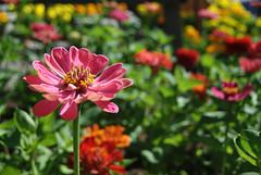 Zinnia (AmyKClark!) Tags: flowers garden colorful dof zinnia storybookwinner