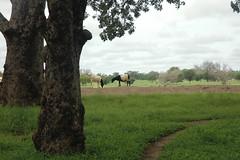 Sandema (MadisonBoratto) Tags: africa tree field goat ghana operation groundswell sandema