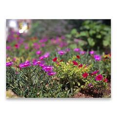 ( ake it uky ) Tags: flowers summer italy holiday film mediumformat garden scan velvia100 psd 6x45 medio mamiya645 diapositiva formato cs4 pellicola valmadrera g4010 morrolo