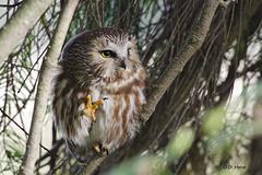 Northern Saw-Whet Owl (featherweight2009) Tags: raptors owls birdsofprey aegoliusacadicus northernsawwhetowl