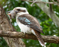 Ratty's end... (Jenny Thynne) Tags: bird nature wildlife australia brisbane queensland kookaburra dacelonovaeguineae avianexcellence