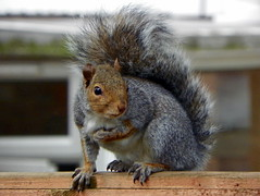nature animal fauna garden mammal rodent squirrel wildlife stevenage hertfordshire rodentia graysquirrel greysquirrel sciuridae sciuruscarolinensis easterngraysquirrel sciurus z981