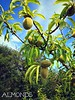 almonds ripening on the tree (Brenda Anderson) Tags: newzealand sky tree fruit garden text almond orchard nut picmonkey curiouskiwi:posted=2013