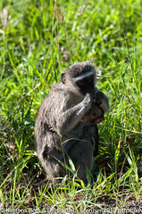 """Vervet Monkey with baby • <a style=""""font-size:0.8em;"""" href=""""http://www.flickr.com/photos/56545707@N05/8365431020/"""" target=""""_blank"""">View on Flickr</a>"""