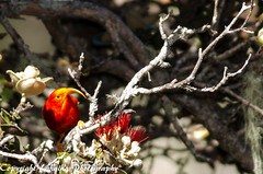 "DSC_8031 (Lohiu ""John"") Tags: birds forest hawaii maui nikond700 tamron200500mm63"