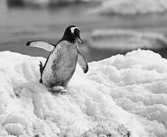 the grubby gentoo (stephen mawby) Tags: island penguin gentoo tail ak antarctica brush peninsula antarctic cuverville brushtail leboreal