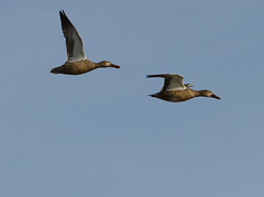 Ducks In flight (bdwalrusboy) Tags: nikon northern shovelers nikon70200f28vr northernshovelers hornsbybendbirdobservatory d7000