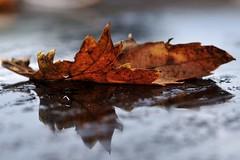 Foglia (luporosso) Tags: autumn naturaleza reflection nature rain foglie leaf reflex drops natura foglia autunno pioggia riflesso gocce naturalmente