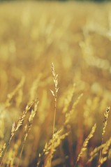 Field of Gold (norsez (Thank you for 7,000 views)) Tags: mountain 35mm lens thailand raw fuji bokeh f14 hills ridge thai fujifilm chiangmai fujinon xf cmos xp1 inthanon  fastlens rpp apsc tflickr xpro1 xtrans kewmaepan  thaiphotographer xmount 52mmequivalent fujixpro1 fujifilmxpro1
