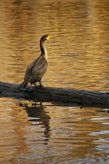 Cormorant (Shayne Kaye) Tags: sunset lake canada reflection bird water birds photography log sitting bc britishcolumbia birding victoria cormorant beaconhillpark jamesbay spcacontest