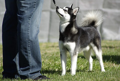 Dakoda (Alexandra Kimbrough) Tags: show dog toy miniature husky pentax huskies event kai klee alaskan ukc conformation akk