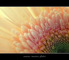Soft flower (marcorenieri) Tags: photographyforrecreation