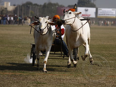 Bullock-cart Race (Ajit Pal Singh) Tags: two horses india tractor game history sports sport festival youth rural speed photo dance high construction war colorful village bullock action folk bare events traditional religion culture mini games event riding winner vehicle warrior effort tug olympics sikh cart agriculture punjab popular schedule kila sponsor bravery agricultural daredevil stunt bhangra deliver courage gallop daring gallary implements ludhiana compete galloping quila sportsfestival footed grewal kabbadi raipur 2013 giddha kilaraipur ruralsports tractive kilaraipursportsfestival