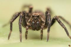 Look into my eyes! (Rinaldo R) Tags: lycosidae wolfspider ragnolupo aracnidae aranae spider macro closeup canonmpe mpe handheld stackmanolibera nature zerene focusstacking 5x pardosasp
