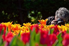 photographers of the tulips (armykat) Tags: kennettsquarepennsylvania longwoodgardens tulipalooza2016 tulipalooza tulips tulip flowers nature natureycrap flowerbed petals photographer bokeh