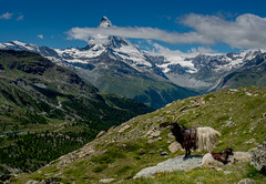Mom, Kid, Matterhorn (andertho) Tags: mountain landscape schweiz switzerland swiss goat olympus matterhorn omd valais m43 suise blackneck microfourthirds em5ii