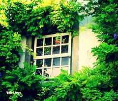 Janela para a natureza (verridrio) Tags: bidos janela window vert green verde house sony arquitetura finestra fentre fenster   glass pencere   okno flora planta naturaleza zielony   grn   yeil fun