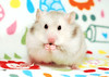 Bubu ~ Gucio's sister (pyza*) Tags: hamster hammie chomik syrianhamster syrian furry fluffy critter rodent animal pet monster cute adorable