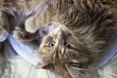 Clem Thursday: Lazy Upside Down Boy (Photo Amy) Tags: adorable aminal canon50d cat cuddly cute cuteness ef50mm18 eartufts feline fluffy fur furry ginger kitten longhair longhaired orange pet precious red tabby toefur whisker whiskers