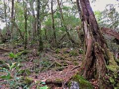 Ancient landscape (flashmick) Tags: antarctic beech queensland bushwalk ballow barney mtbarney winter august daywalk foliage vegetation trees