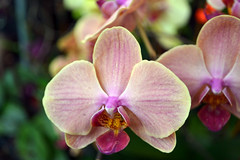 2016-07-23 08767 Orchid Show, SF County Fair Bldg (Dennis Brumm) Tags: sanfrancisco california july 2016 orchids exposition flowers plants bromeliads