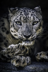 Penetrating Gaze (Paul E.M.) Tags: snowleopard panthera zigsa shan ounce sdzoo feline asian ilbirs alluring intensity cat