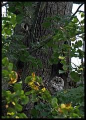 THE FORESTS EYES AND EARS (LitterART) Tags: kauz waldkauz eule owl owls steiermark linde baum tree hieronymusbosch wald forest wood foret tiere animals vgel vogel oiseau nacht eulenkater lime limetree eyes ears augen ohren fujifilm