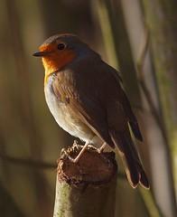 2016_01_0137 (petermit2) Tags: robin erithacusrubecula pottericcarr potteric doncaster southyorkshire yorkshirewildlifetrust wildlifetrust ywt