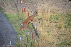And Over He Goes (jimgspokane) Tags: deer wildlife spokanewashingtonstate washingtonstate