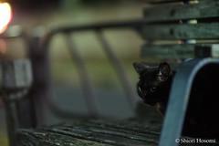 (Shiori Hosomi) Tags: 2016 september japan tokyo 23  cats mammalia       carnivora felidae   felis  noctivagant noctuary nocturnal night   catsinthenight
