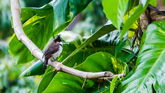 Coorg_Selection-28 (aldrin_t) Tags: coorg red vented bulbul