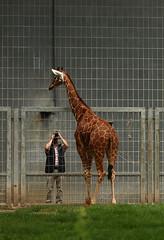 Girafe (Carahiah) Tags: zoologischer garten karlsruhe zoologischergartenkarlsruhe zoodekarlsruhe allemagne deutschland zoo parc botanique zoologique girafe photo portrait identit personne photographe giraffe identity person photographer foto portrt identitt fotograf