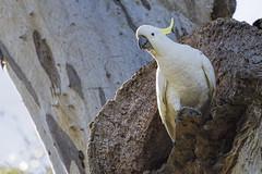 Sulphur-crested Cockatoo 2016-08-07 (60D_2600) (ajhaysom) Tags: sulphurcrestedcockatoo cacatuagalerita woodlandshistoricpark greenvale melbourne australia australianbirds canoneos60d sigma150600