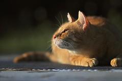 5647 (A-yamabeno) Tags: straycat cat sunset