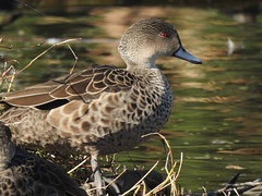 Grey Teal (njohn209) Tags: nikon birds nz p900