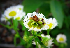 IMG_8823 (Mat_B) Tags: volo bog state natural area nature walk 2016 summer fun photography swamp wetland super macro aster plant flower bug insect jagged ambush waiting hiding detail red eye