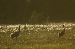 Pied de grue - Cranes (Samuel Raison) Tags: grues cranes grusgrus finlande finland nikon nikond2xs nikon4200400mmafsgvr