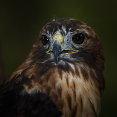 Red-tailed Hawk, the Portrait (Jerry_a) Tags: birds raptor hawk redtailedhawk tuckahoestatepark canon1dx canon300mmf28isusmii maryland