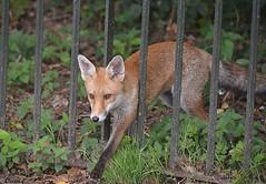 Fox in the Park  HFF (Eleanor (No multiple invites please)) Tags: fox redfox railings kensingtongardens london nikond7100 september2016