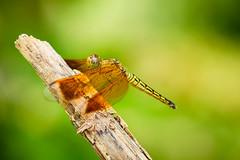 Dragonfly (Hendraxu) Tags: macro green dragonfly insect bokeh nature animal fauna malagos garden resort conservation philippines davao mindanao