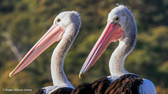 Pelican (45).jpg (Roger OZ) Tags: northernbeaches fairlight australia birds sydneygreater northharbour fauna newsouthwales places pelicans