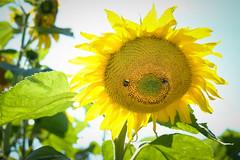 (Jerzil) Tags: sunflower bee bourdon jaune soleil sun yellow flower ngc