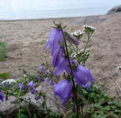 bell-flower (helena.e) Tags: helenae sjtorp vnern gtakanal semester vacation lga husbil campalula blklocka motorhome water flower blomma