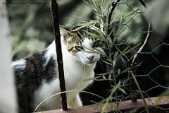 IMG_3214 (Ali Denizalp) Tags: trkiye cat ordu rize hayvan animals kedi