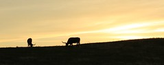 Horns at sunset (alideniese) Tags: blackhills wyoming usa sunset sundown dusk sky silhouette longhorn cattle grazing landscape animals panoramic